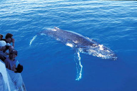 Whale Watching in Queensland