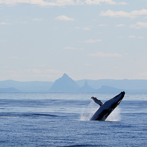 First Whales of the Season set to Spout at Tangalooma