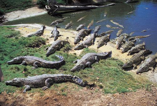 Crocodiles in the Northern Territory