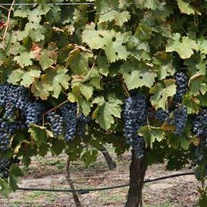 Aventine Wines