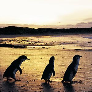 Fairy Penguins on King Island