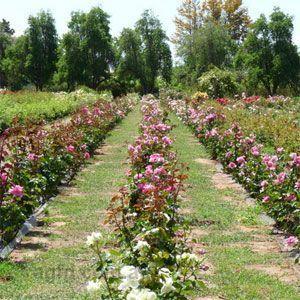 Ruston's Rose Garden