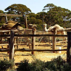 Coolgardie Camel Farm